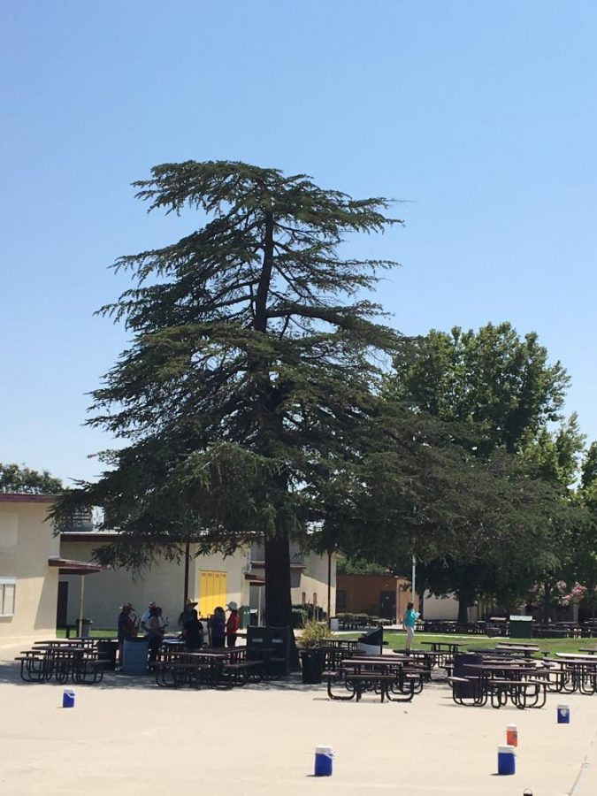 The+biggest+tree+in+the+AV+quad+is+known+as+the+%22Freshman+Tree%22+since+most+freshman+sit+at+the+tables+under+the+tree+during+lunch.