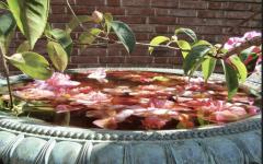 Fallen camellias reside in a fountain meant for birds.