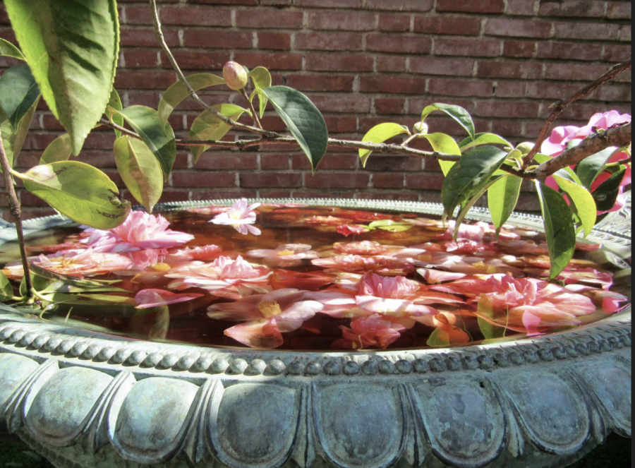 Fallen camellias reside in a fountain meant for birds.